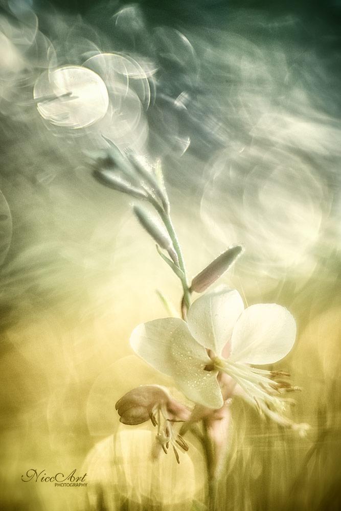 Fn102225809-Prachtkerze - Lindheimers beeblossom - Gaura lindheimeri