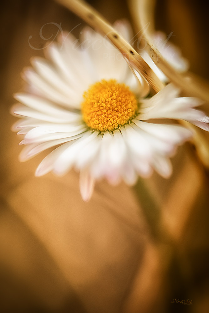 Fn10898804-Daisy - Gänseblümchen - Bellis perennis