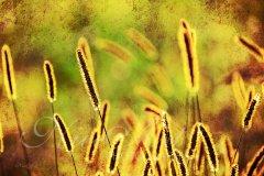 Bn13991308-Gräser in der Abendsonne