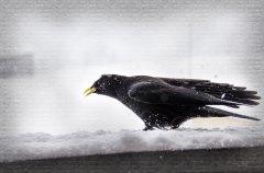 Pn11905302-Bergdohle im Winter