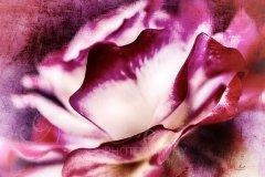 Rn11451306-Artful rose