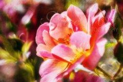 Rn14964309-Rose im Sonnenschein