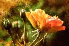 Rn15366309-Goldene Rose