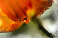 Wn10281303-Tropfen an Blüte