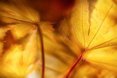 Bn13959410-Herbstliche Ahornblätter