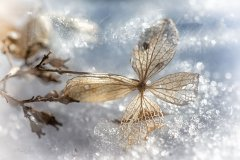Fn147081502-Hortensie im Schnee