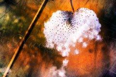 Fn16193401-Anemonen-Herz - Windflower heart