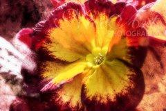 Fn16968403-Primrose in yellow and red - Primula - Primel