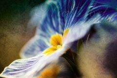 Fn18284404-Dark primrose