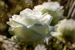 Rn17681403-Sunny white rose