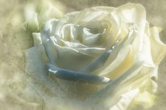 Rn17704403-Mystic white rose