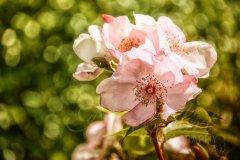 Rn19815405-Rose im Sonnenlicht