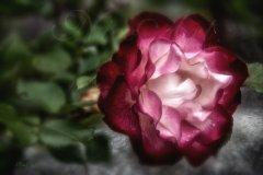 Rn19923405-Zweifarbige Rose