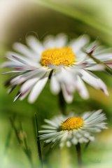 Fn0166804-Daisy - Gänseblümchen - Bellis perennis