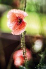 Fn100241806-Mohnblüte - Papaver