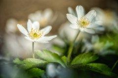 Fn10133804-Buschwindröschen - Wood anemone - Anemone nemeorosa