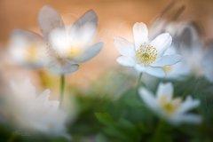 Fn10138804-Wood anemone - Buschwindröschen - Anemone nemorosa