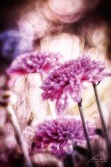 Fn102628809-Pinkfarbene Astern im Sonnenlicht