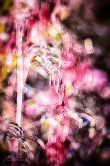Fn102841809-Fuchsia magellanica - Gartenfuchsie im Gegenlicht