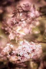 Fn11191804-Flieder - Syringa - Lilac