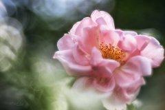 Rn100188806-Rose in soft light