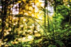 Bn102850911-Farnblätter im Sonnenschein