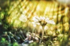 Fn104842902-Gänseblümchen - Margritli im Sonnenlicht