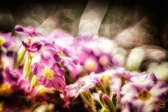 Fn105191903-Rosarote Primeln - Pink primroses - Primula