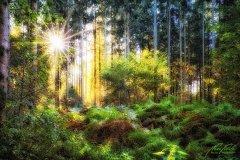 Ln103600910-Sommerwald mit Sonnenstern
