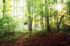 Ln103614910-Sonnenstern im Frühlingswald