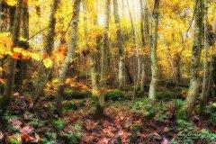 Ln103809911-Jungendlicher Buchenwald im Herbst