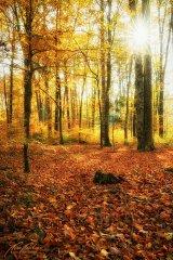 Ln104059911-Herbstlicher Wald mit Sonnenstern